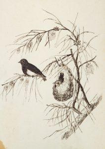[ORNITHOLOGY] Dicées de la Nouvelle-Hollande (Dicaeum hirundinaceum)Anon. [after FREEMAN, W.H. and GOULD, John, 1804-1881]# 14143