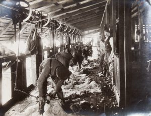 Shearing sheep by machine in North Queensland