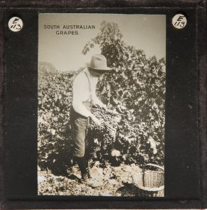 South Australian grapes