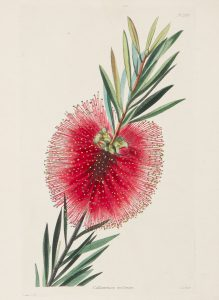 Callistemon scabrum (Scarlet Bottlebrush)'G.C'# 14767
