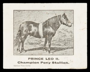 [GEELONG; EQUESTRIAN] Prince Leo II. Champion pony stallion.